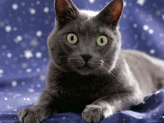 portrait of grey cat on starry material