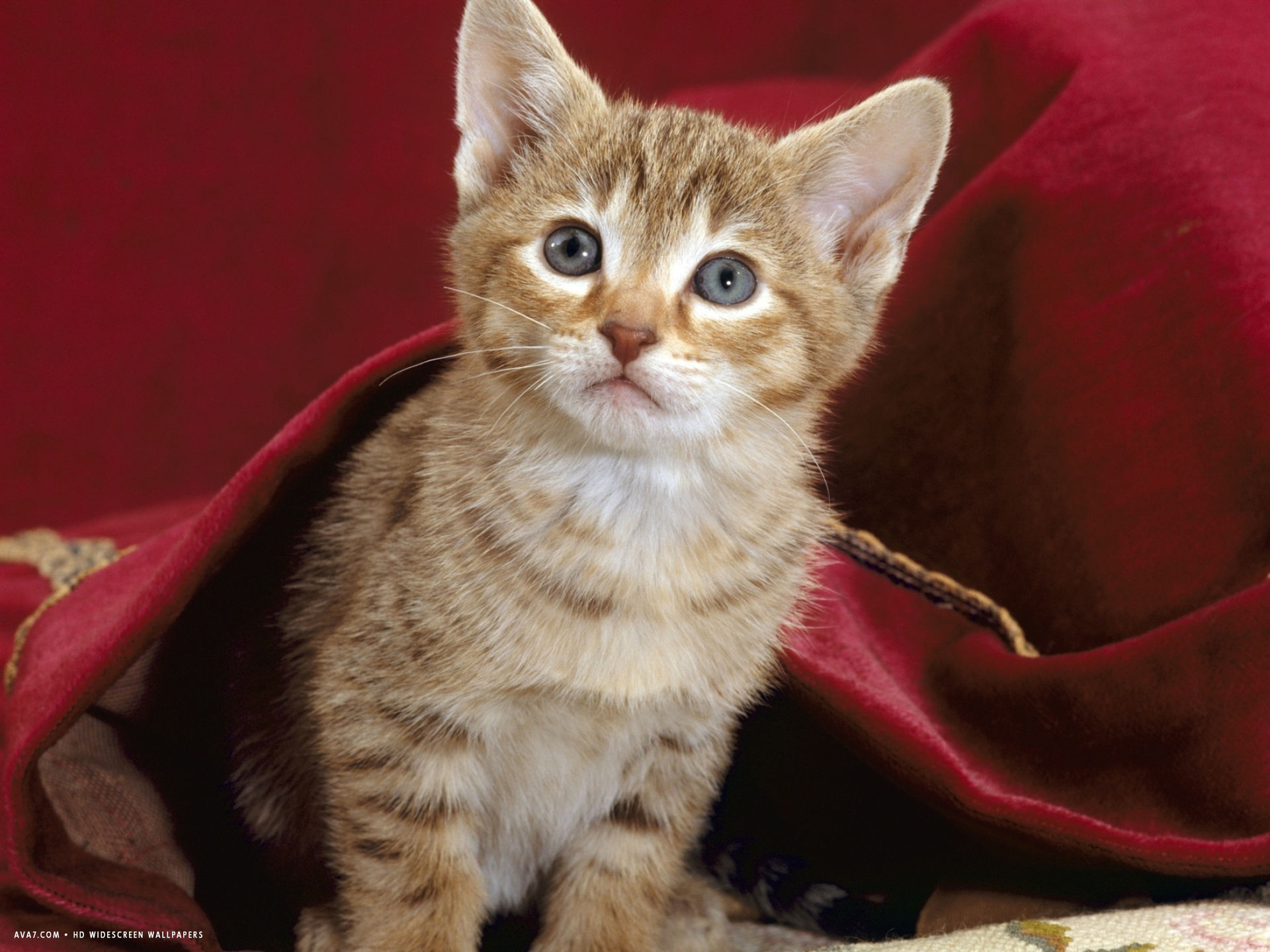 portrait of oriental brown spotted tabby kitten under red velours curtain