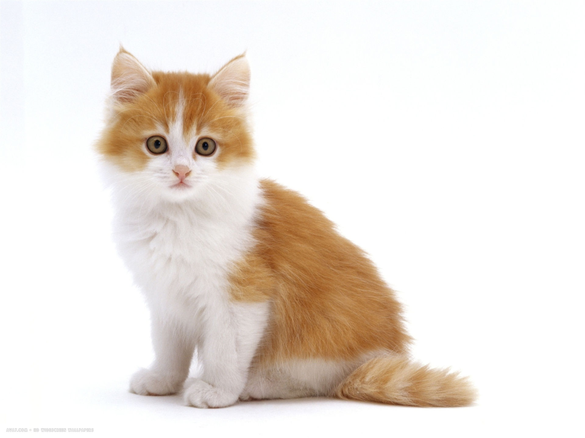 red bicolour kitten sitting