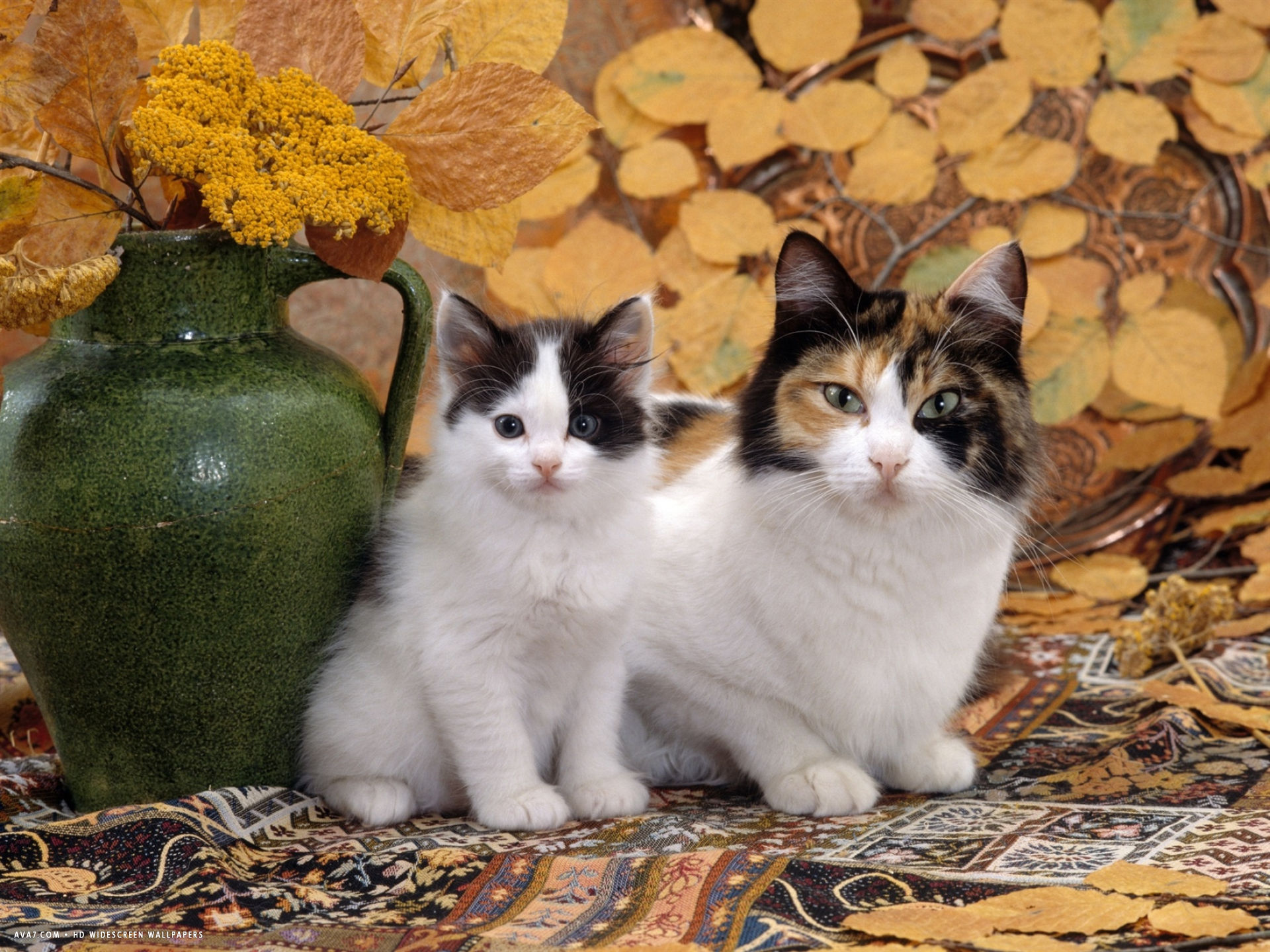 tortoiseshell and white mother with her black and white kitten