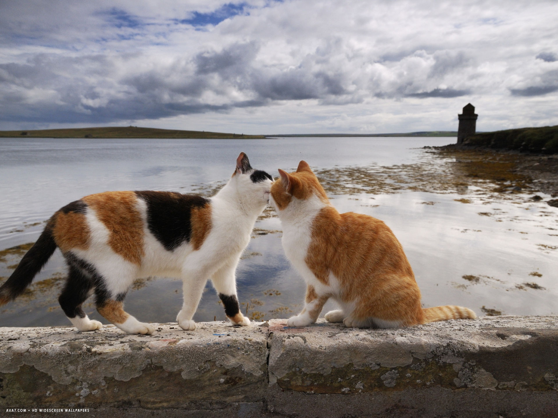 two cats greet on a wall overlooking the bay in shapinsay