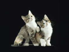 two domestic cat kittens looking up