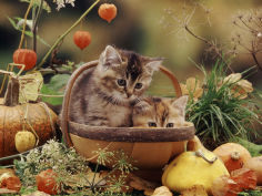 two domestic kittens felis catus in basket surrounded by pumpkins