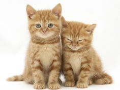 two ginger domestic kittens felis catus