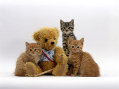 two ginger kittens and a tabby with ginger teddy bear