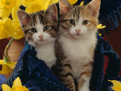 two tabby tortoiseshell and white kittens in blue bag with daffodils