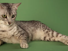 egyptian mau cat hd