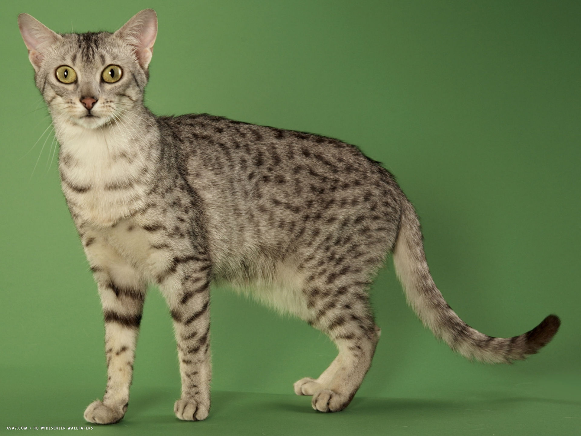 egyptian mau desktop wallpaper