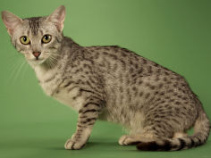 egyptian mau widescreen