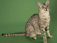 egyptian mau widescreen wallpaper