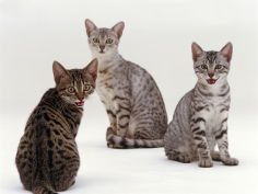 female silver egyptian mau with two of her 14 week kittens