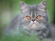 exotic shorthair cat blue tabby