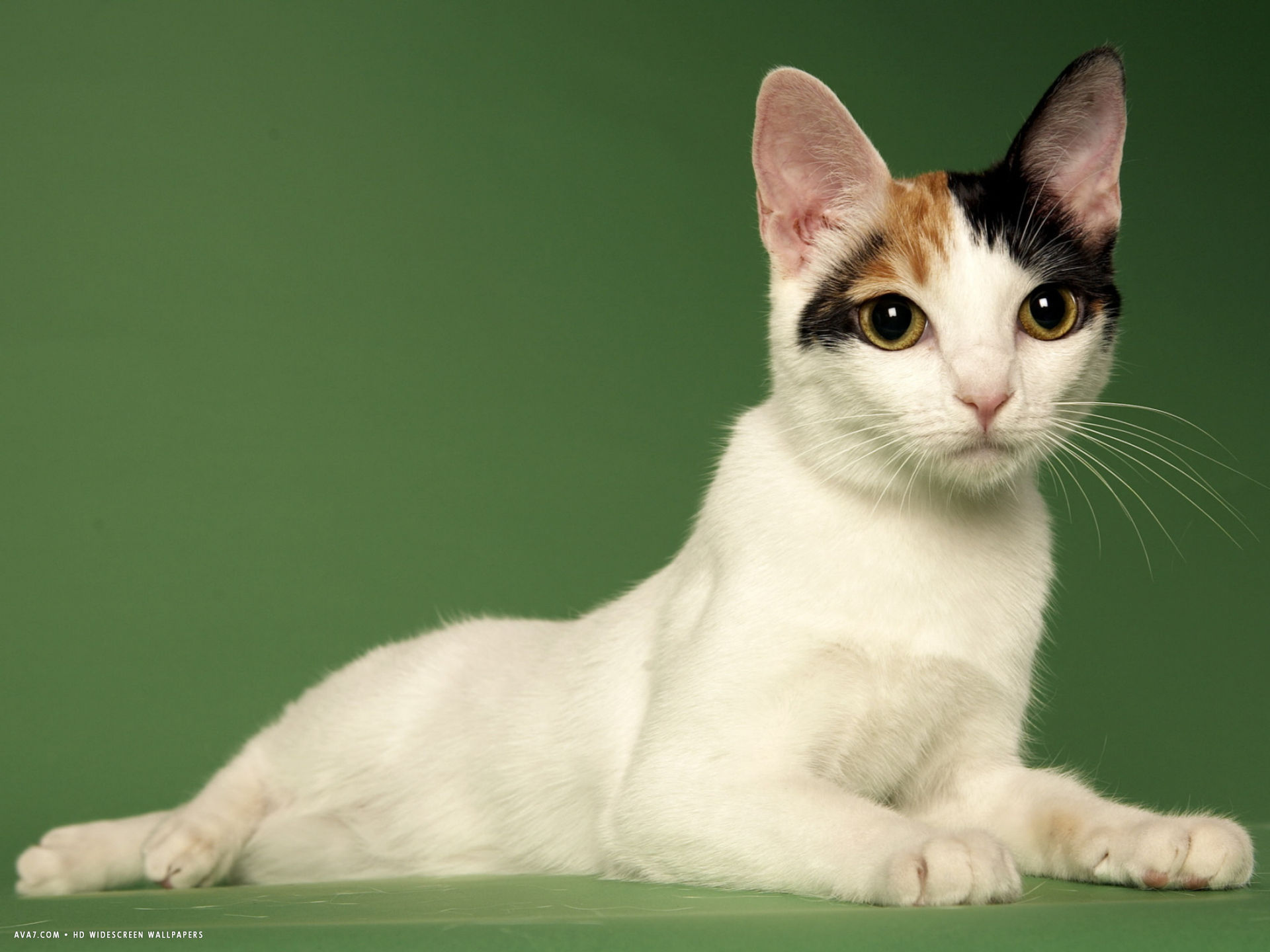 japanese bobtail desktop wallpaper