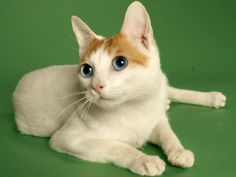 japanese bobtail hd wallpaper