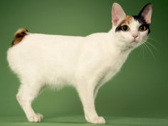 japanese bobtail wallpaper
