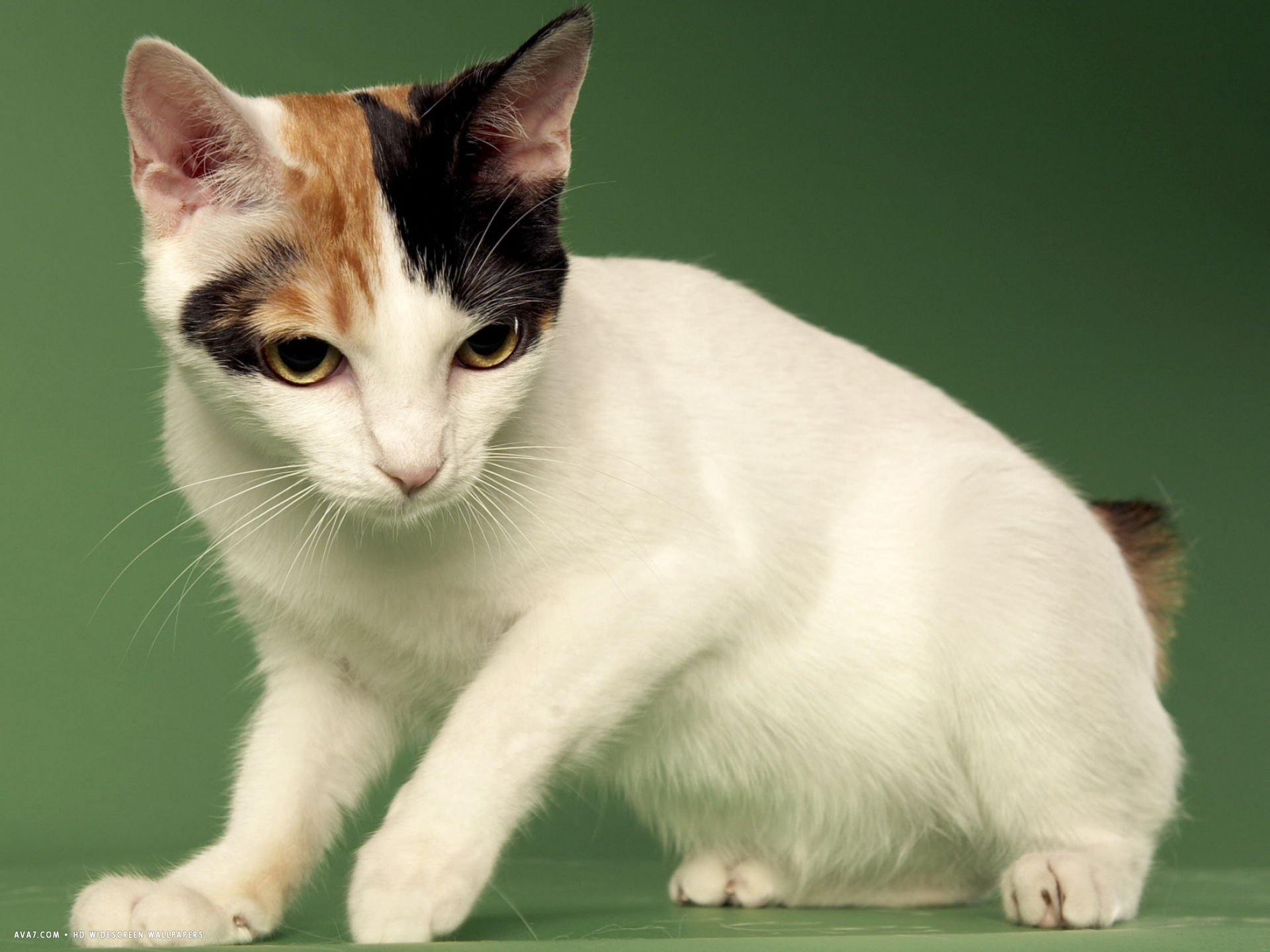 japanese bobtail widescreen wallpaper