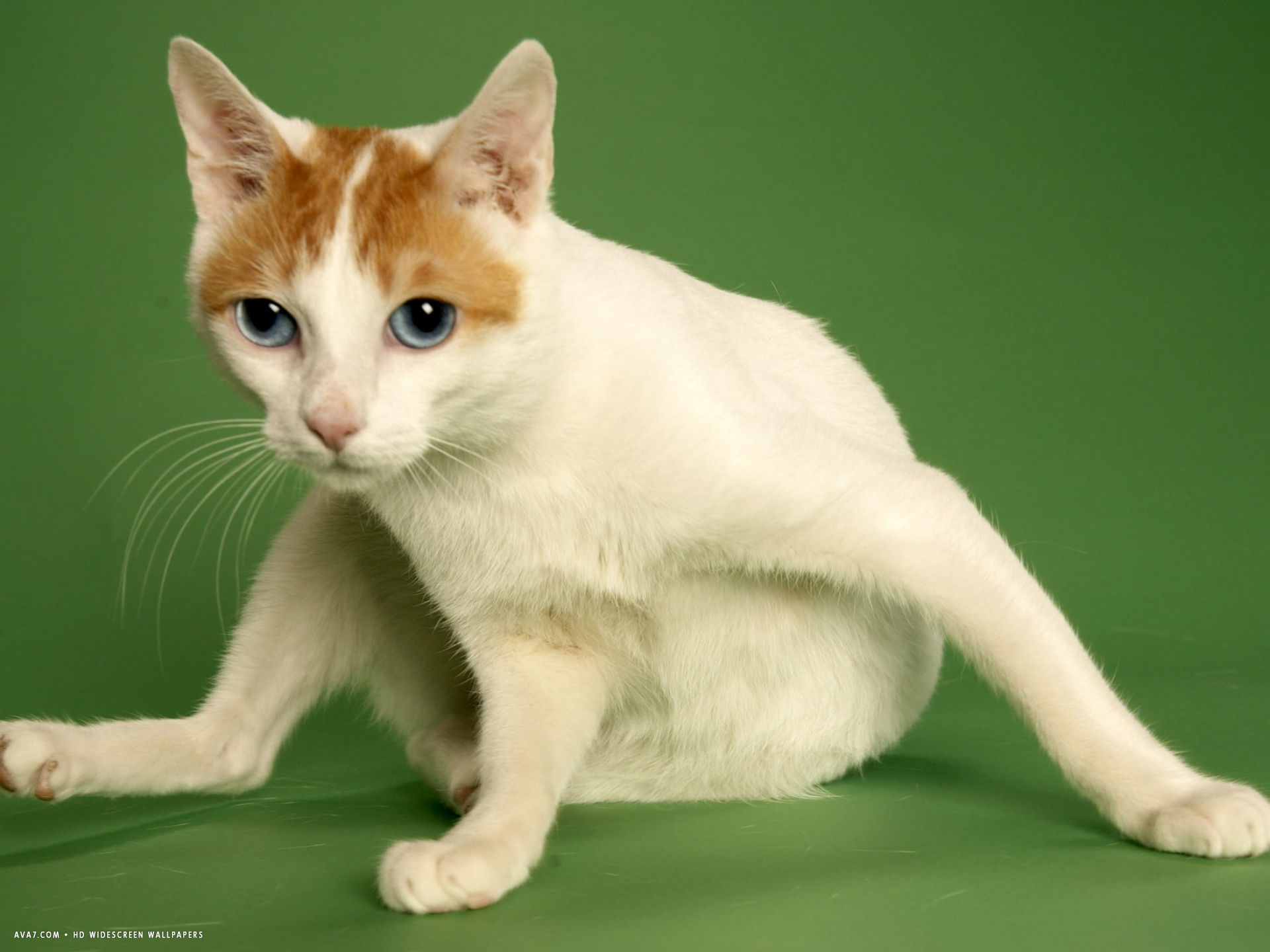 japanese bobtail widescreen
