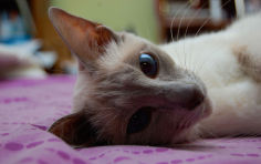 small head and big blue eyes of javanese cat wallpaper