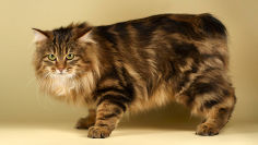 kurilian bobtail black hair brown hair