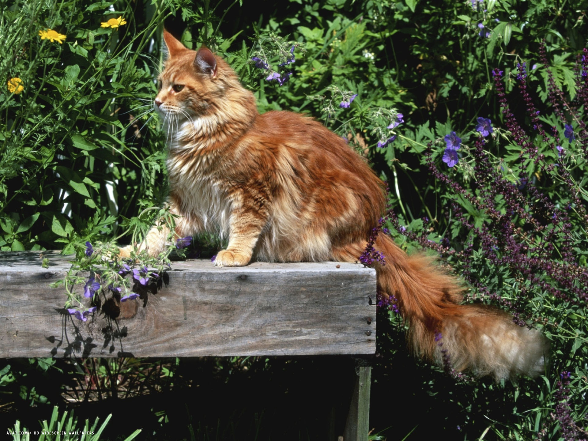 domestic cat maine coon breed