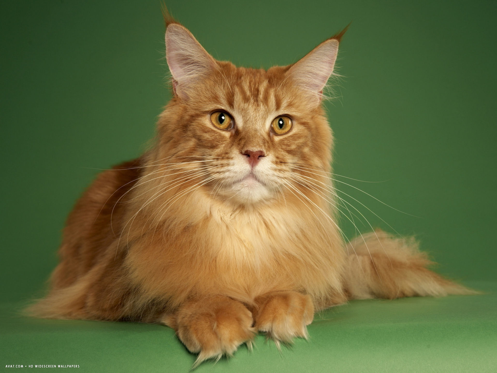 maine coon 15