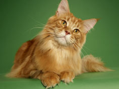 maine coon 16