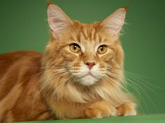 maine coon 17
