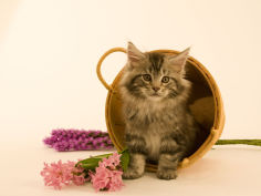maine coon 21