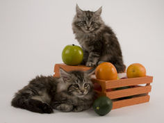 maine coon 24