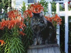 maine coon breed maine usa