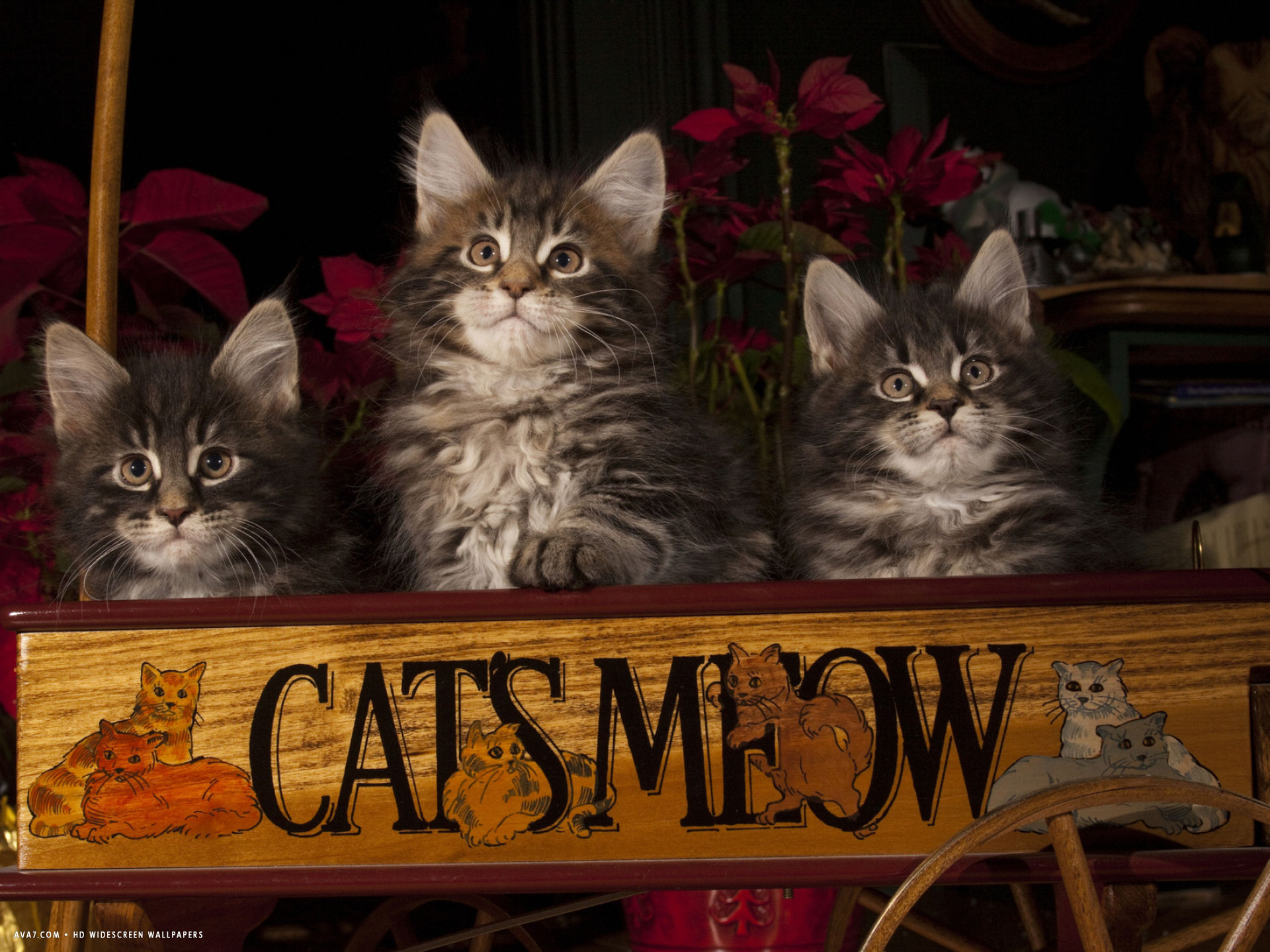 maine coon cat kittens in wagon