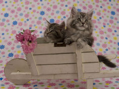 maine coon hd wallpaper