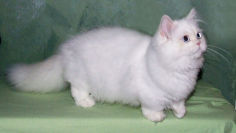 napoleon cat white hair pink nose standing blue eyes