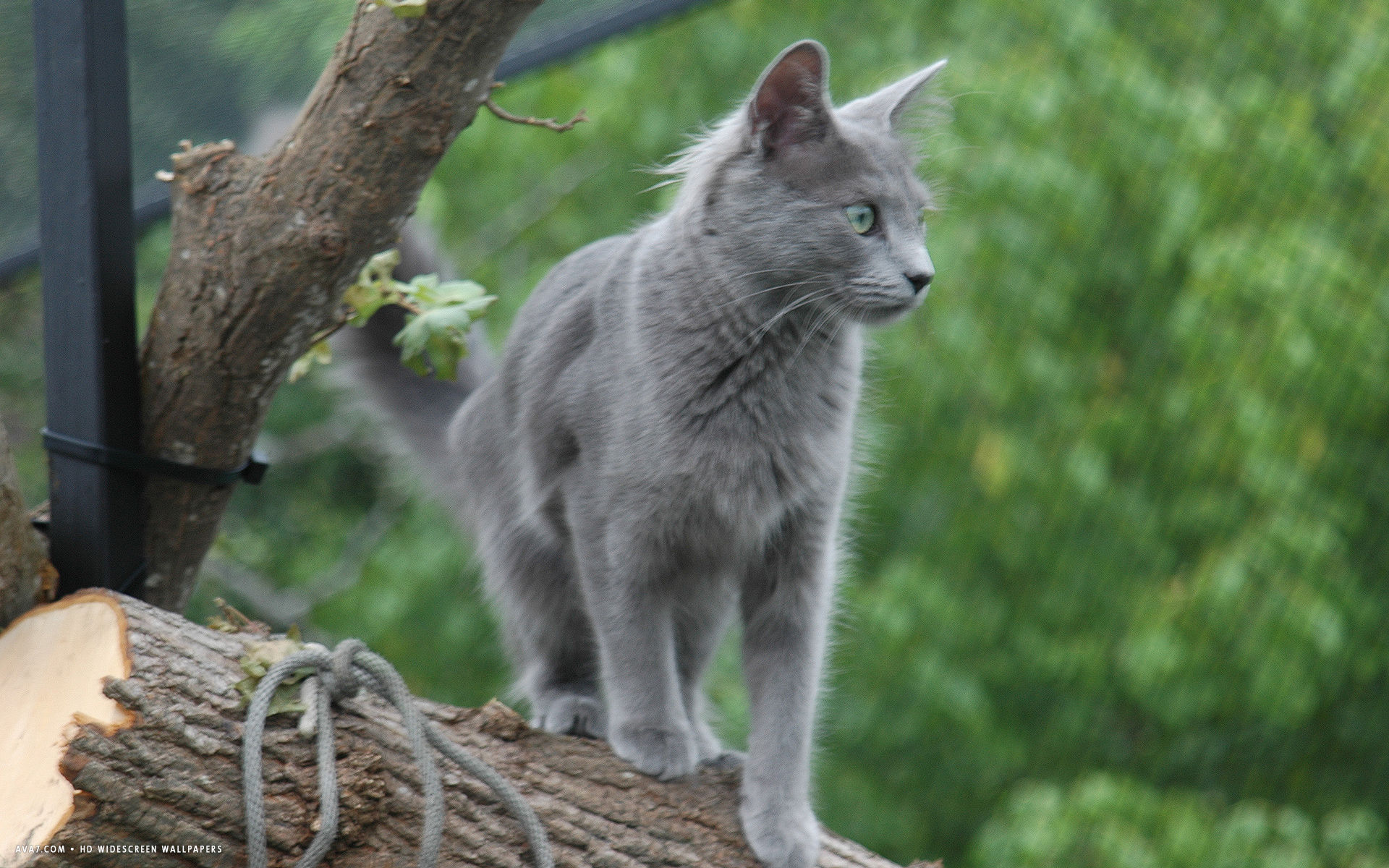 nebelung green eyes grey hair standing