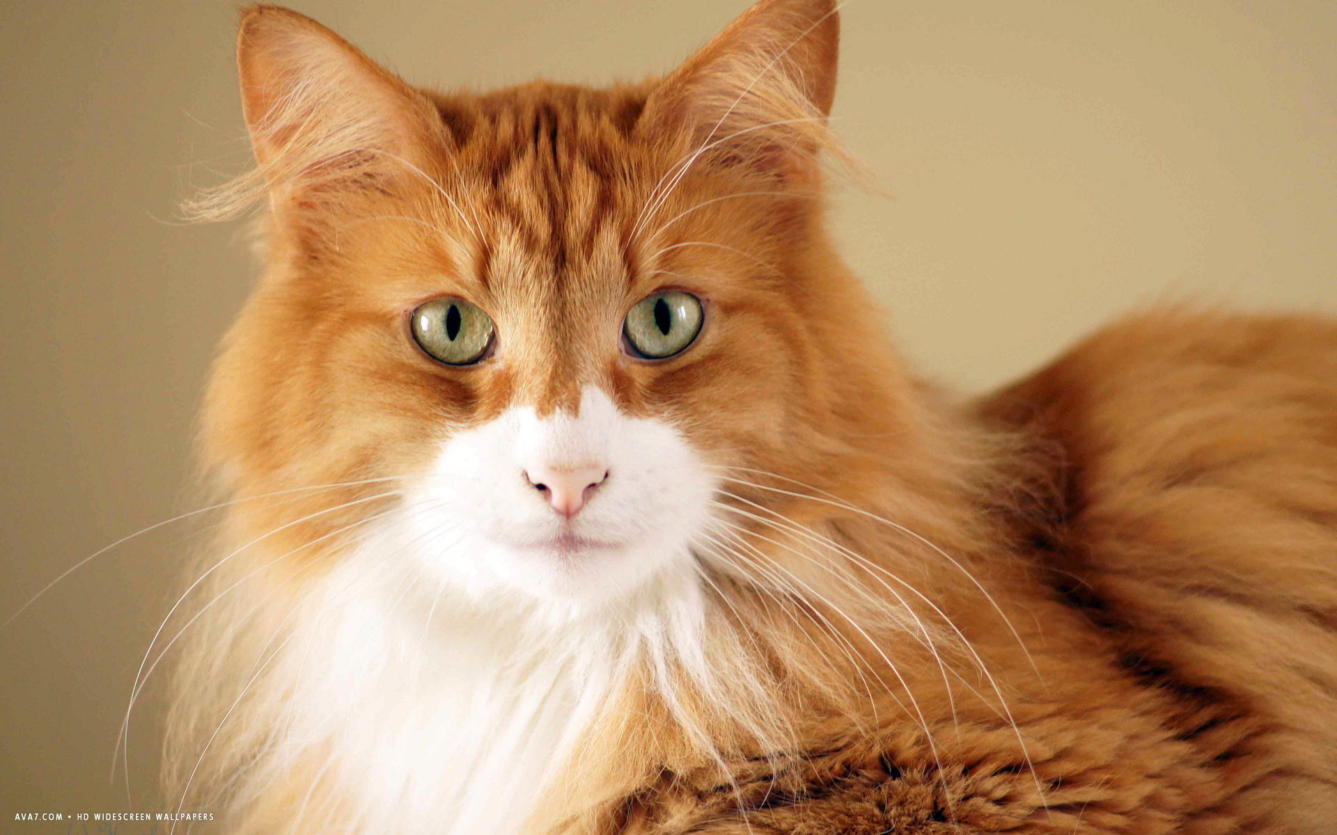 norwegian forest cat white hair lying whiskers