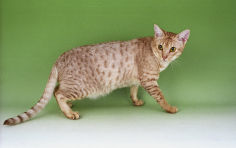 ocicat pink nose brown hair green eyes standing