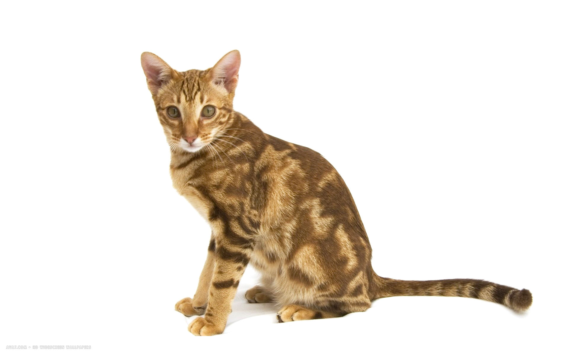 ocicat pink nose brown...