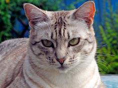 ocicat white hair lying