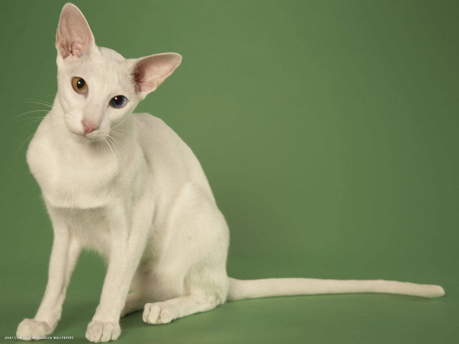 oriental shorthair breed
