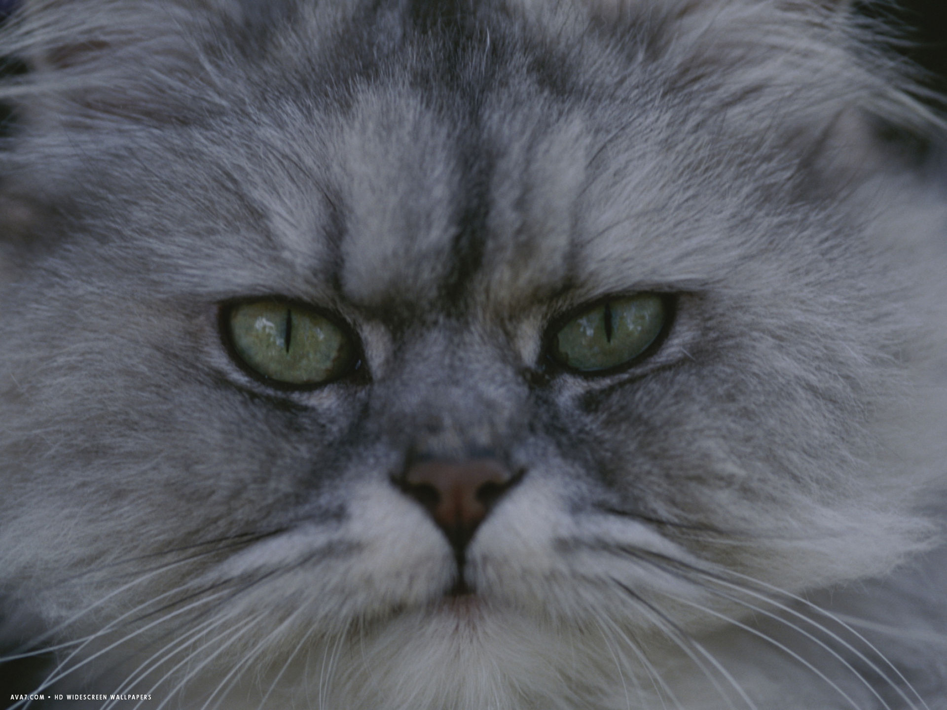 a portrait of a persian cat