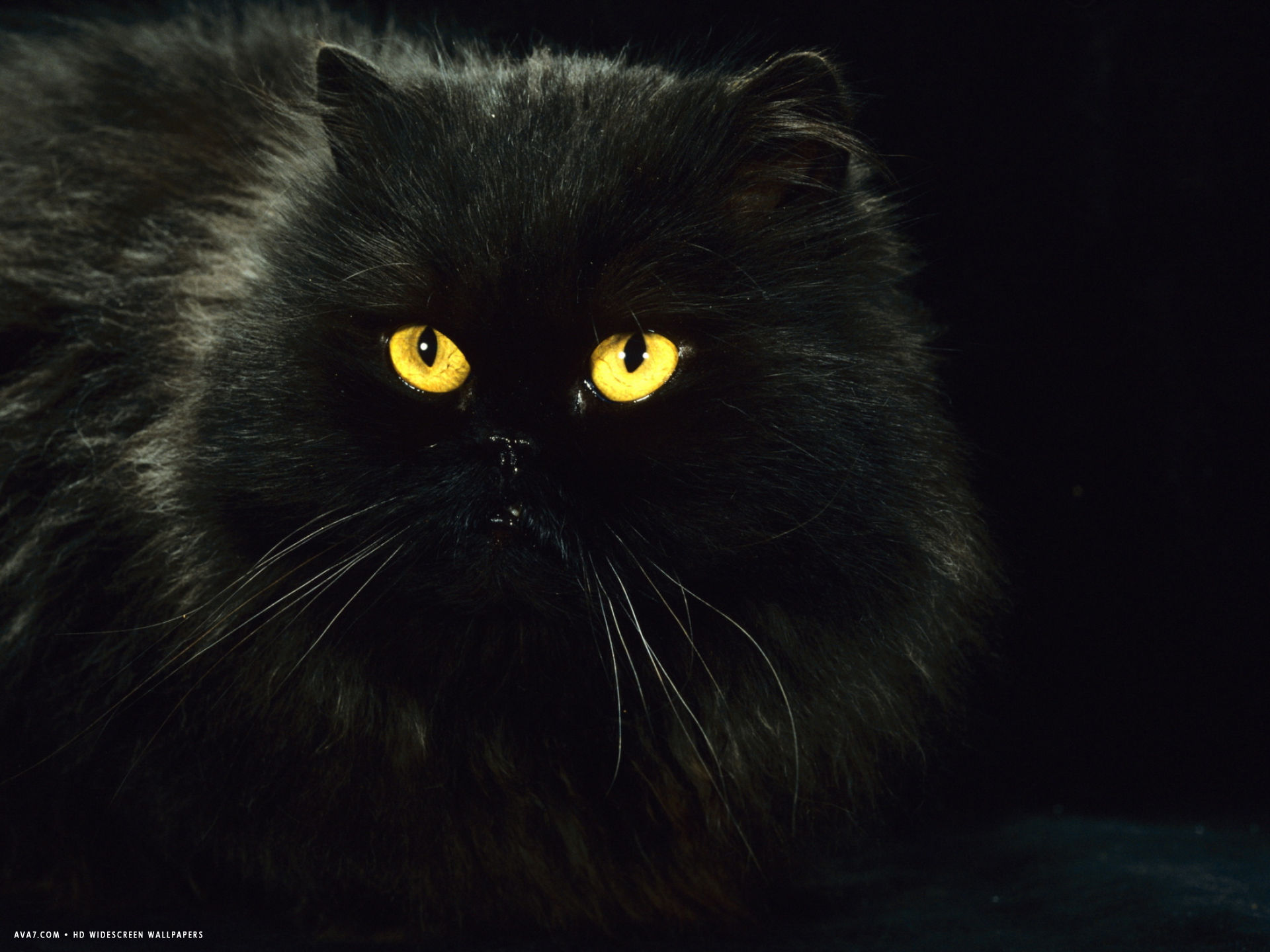 Black Persian Female At Night Yellow Eyes Shining