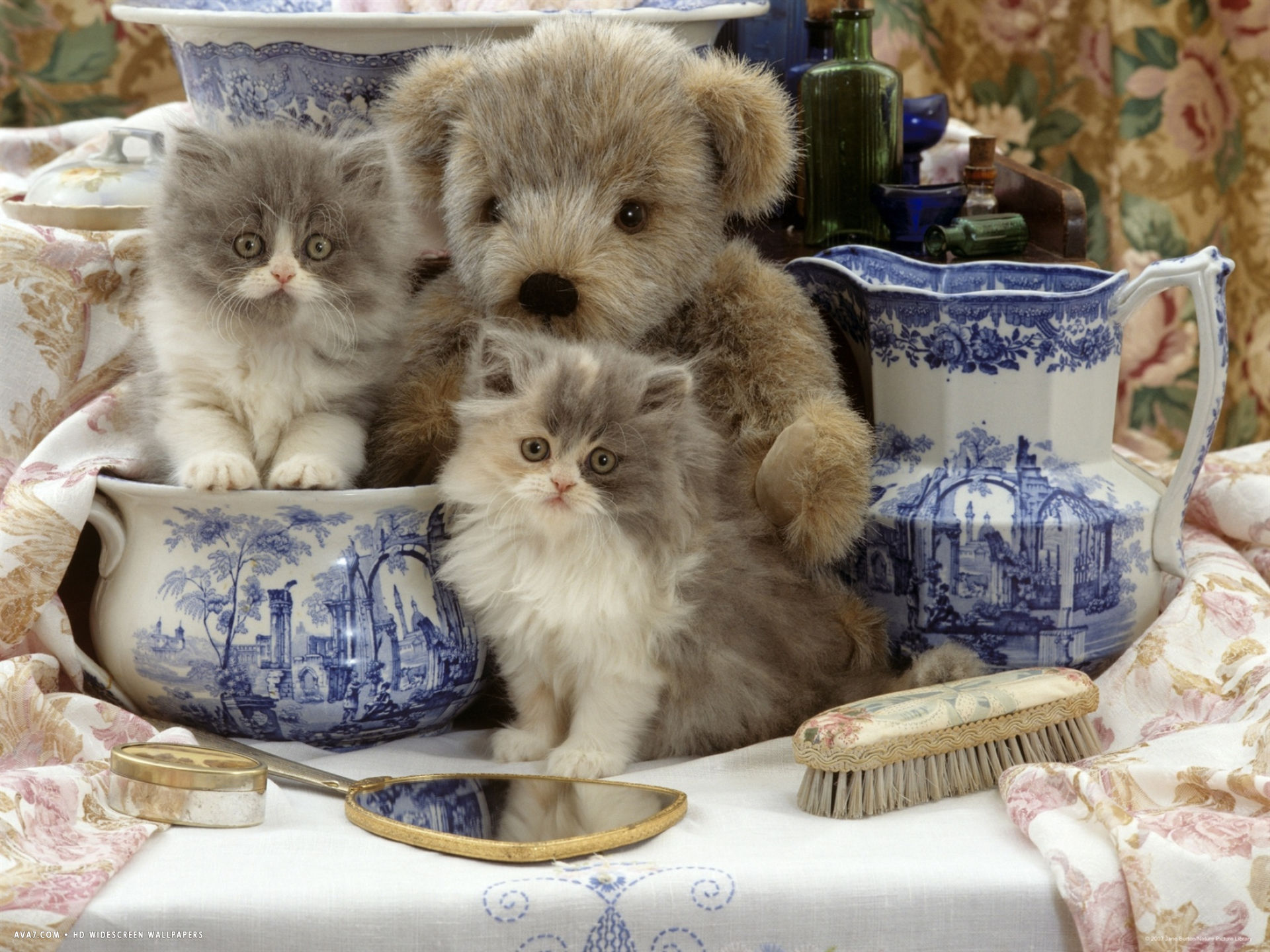 blue bicolour persian kitten brindle teddy bear