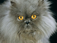 blue persian longhair