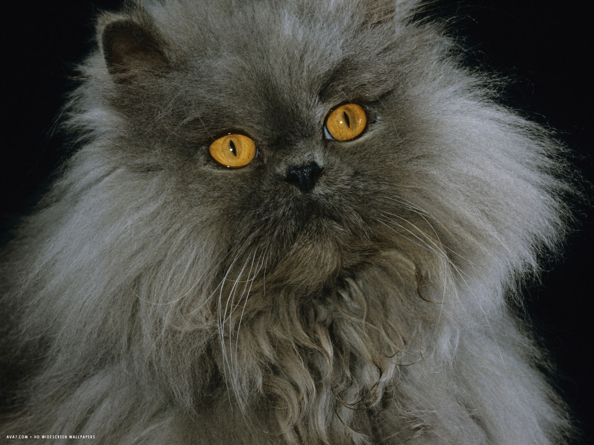 domestic cat blue persian longhair