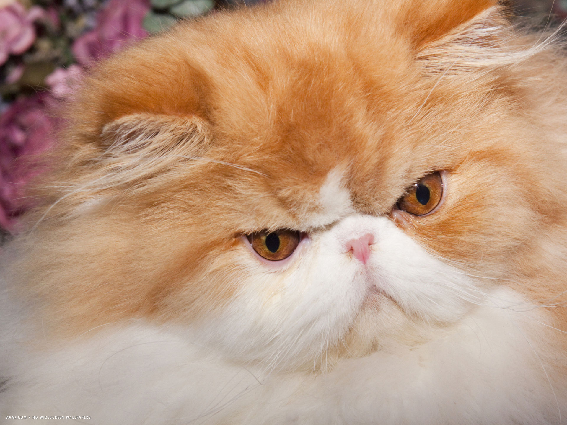 orange persian cat portrait