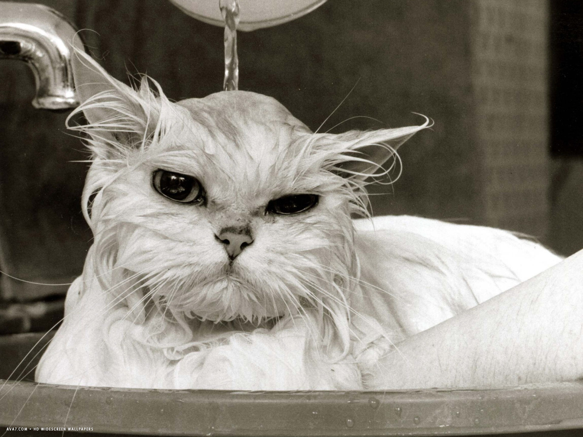 persian cat gets a soaking to prepare her for show
