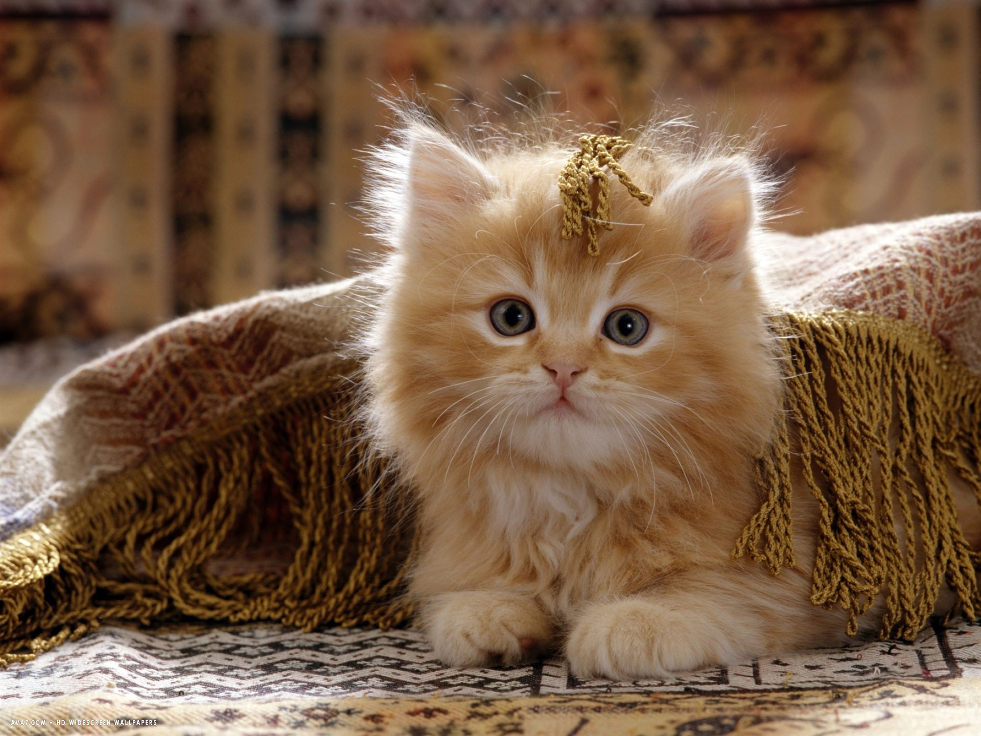 red persian cross male kitten playing under fringed cover