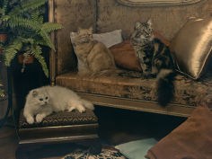 trio of persian cats recline on the furniture
