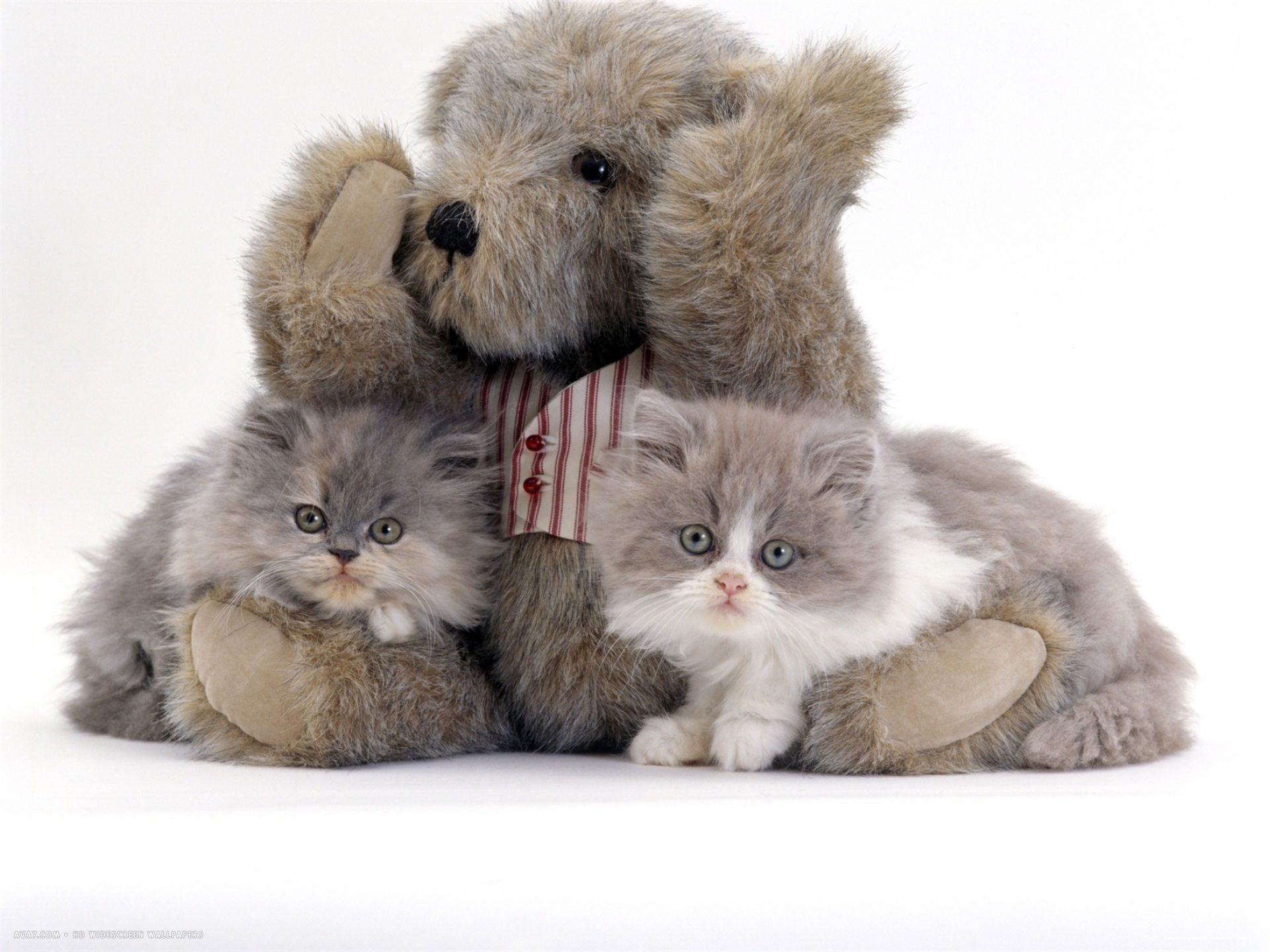 two blue persian kittens with a brindle teddy bear