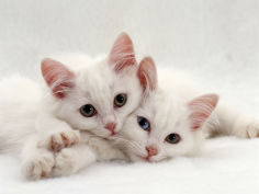 two white persian cross kittens one odd eyed